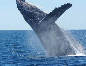 Una ballena muerta tenía 40 kilos de bolsas plásticas en su estómago