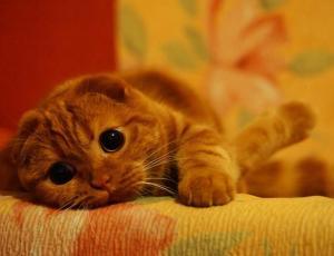 ¿Por qué Australia quiere eliminar a dos millones de gatos?