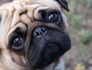 Holanda quiere prohibir la cría de razas como el pug y bulldog francés