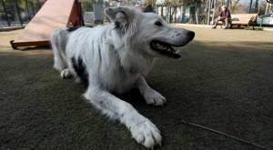 Nada de choripán o anticuchos: los consejos para cuidar a tus mascotas en Fiestas Patrias