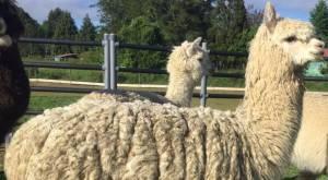 Anticuerpos de alpacas contra el Covid-19: así funciona el tratamiento