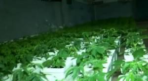 Detienen a mafia china: Tenían galpón repleto de marihuana