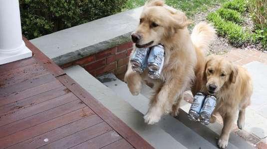 Perritos que hacen delivery de cerveza causan furor en cuarentena