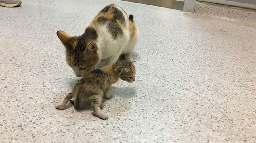 Gato callejero llevó a gatito enfermo al hospital para pedir ayuda