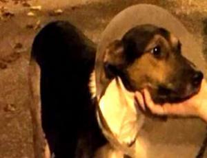 Katalina: la pobre perrita que fue lanzada al vacío y terminó con sus patas fracturadas