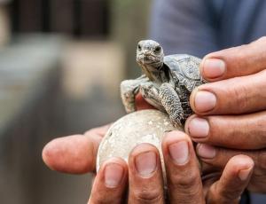 Después de 100 años nacen tortugas en Galápagos